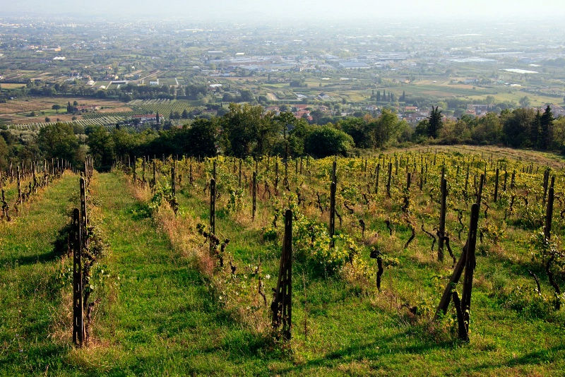 Vineyard and Pistoia Valley from Il Convento - ID: 12550005 © STEVEN B. GRUEBER