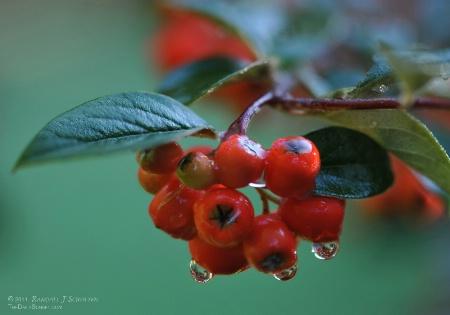 Dew Drop Berries