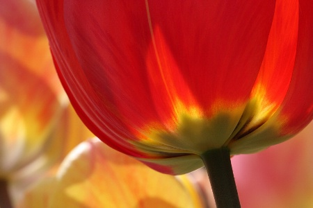 Red tulip detail
