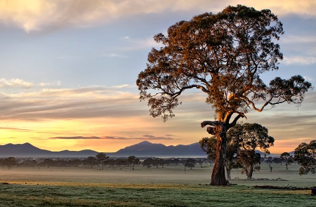 The mighty Red Gums
