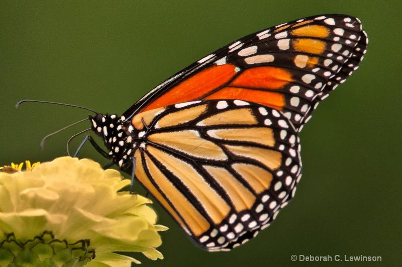 Monarch Feasting - ID: 12594518 © Deborah C. Lewinson