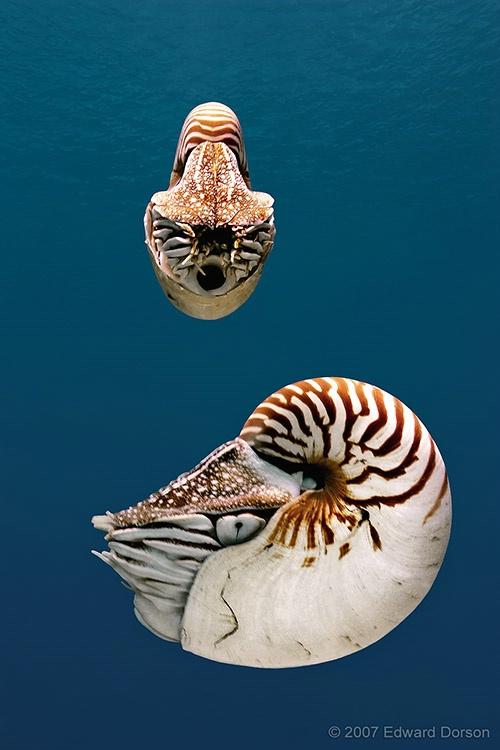 Chambered Nautilus Pair - ID: 12597455 © Edward Dorson