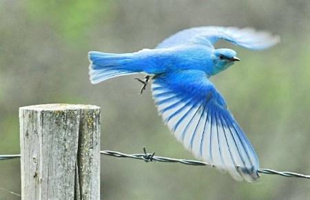 An Annoyed Bluebird