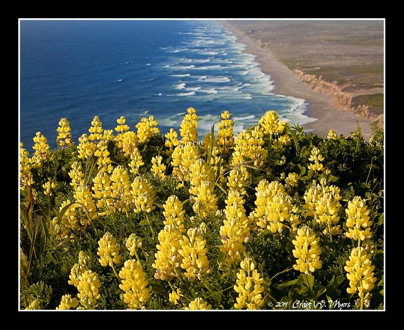 Yellow Lupine - ID: 12613886 © Craig W. Myers