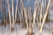 Birch Trees, abst...