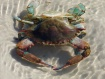 Tidal Pool Crab(s...
