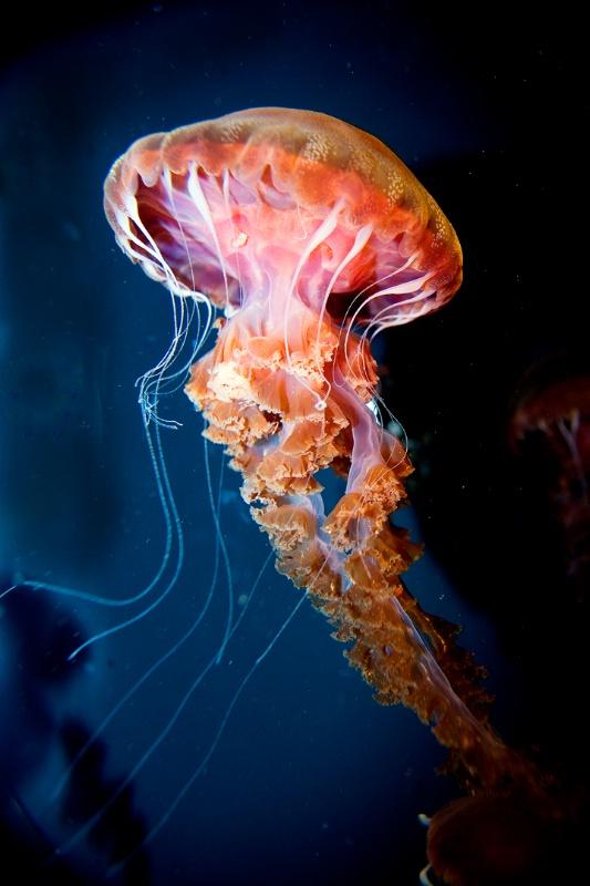 Jellyfish-Chrysoara, west coast sea nettle - ID: 12636907 © William Dow