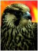 The Falcon -- Tak...