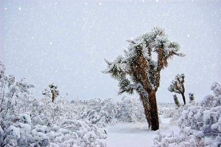 Joshua Trees in a  Snowstorm