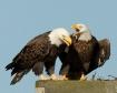 Mad eagles
