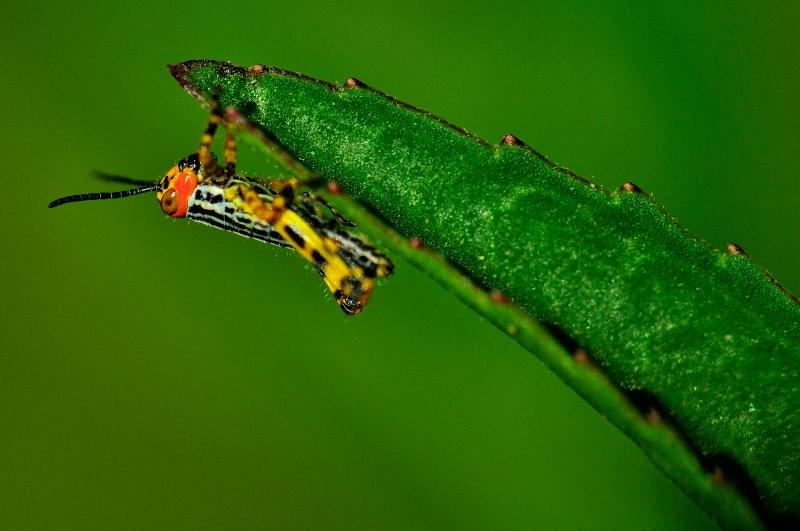 Baby grasshopper II