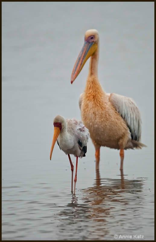 yellow billed stork   pelican - ID: 12656248 © Annie Katz