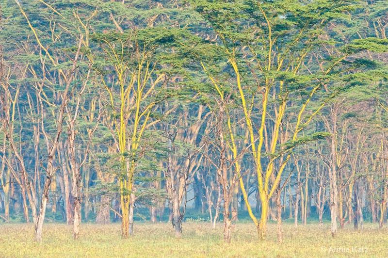 yellow fever trees - ID: 12656250 © Annie Katz