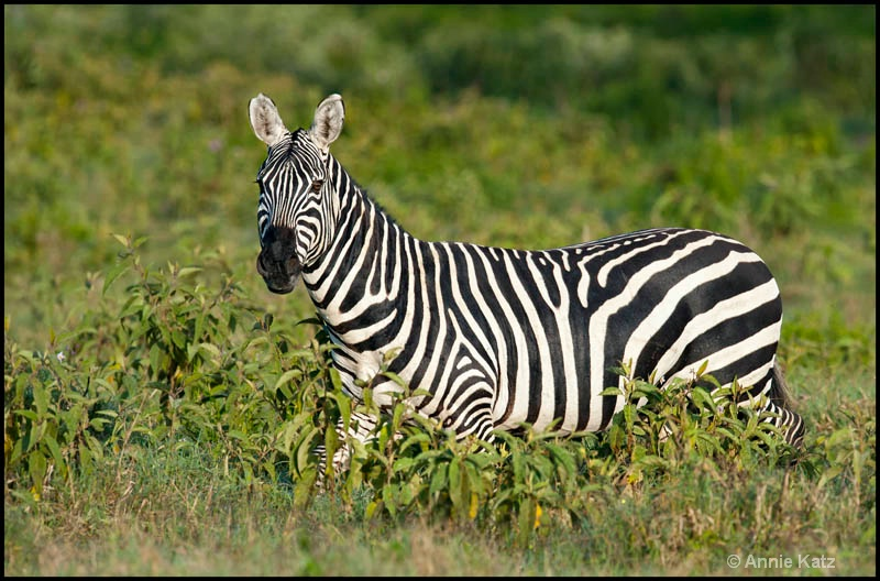 zebra in nakuru - ID: 12656256 © Annie Katz