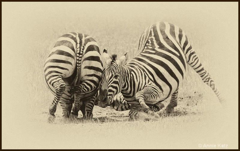 zebras fighting 4 - ID: 12656260 © Annie Katz