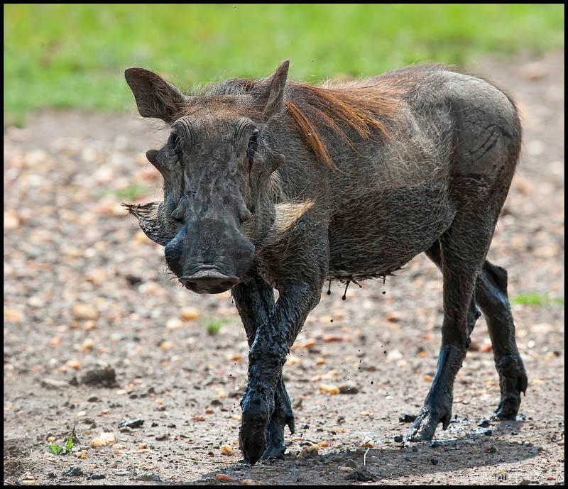 wild boar - ID: 12656643 © Annie Katz