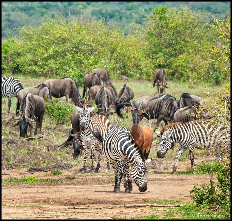 zebra  wildebeest  topi - ID: 12656650 © Annie Katz