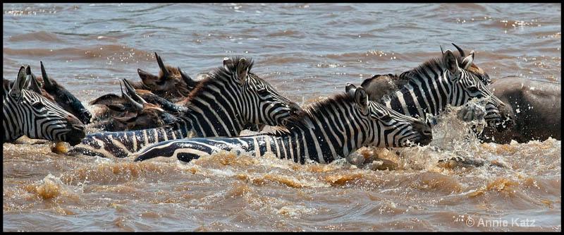 zebras swimming the mara - ID: 12656652 © Annie Katz