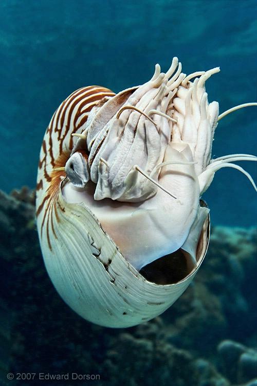 Chambered Nautilus_2 - ID: 12659198 © Edward Dorson