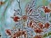 Frozen Maple