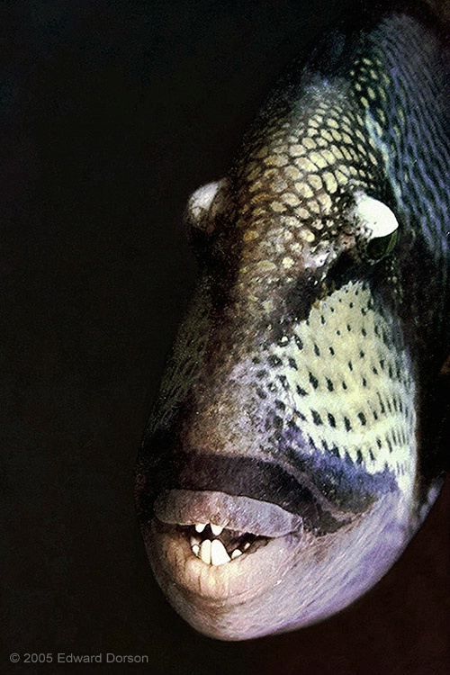 Titan Triggerfish 3 - ID: 12702999 © Edward Dorson
