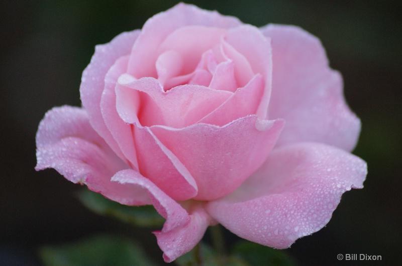 Queen Elizabeth Pink Rose - ID: 12712577 © William E. Dixon