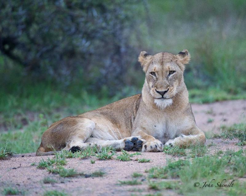Lion - Dec 28th, 2011 - ID: 12715985 © John Shemilt