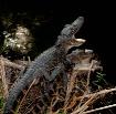 Baby Gators in th...