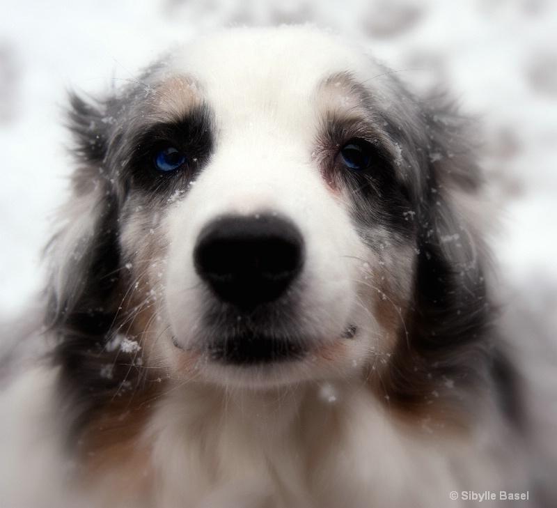 Snowy dog... - ID: 12729104 © Sibylle Basel