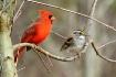 Cardinal-Sparrow