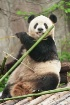 Giant Panda 001
