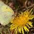 © Arthur Sprague PhotoID # 12743426: Yellow Sulfur Butterfly