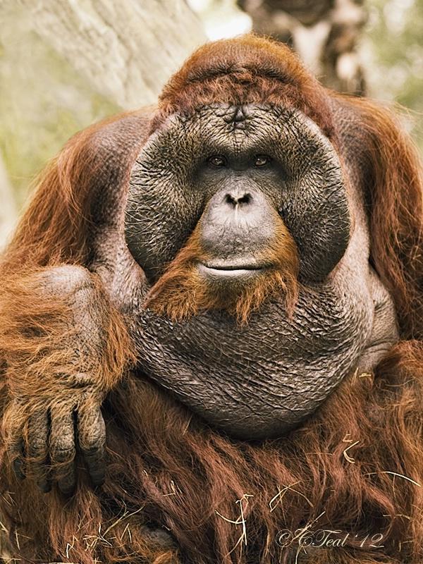 Rango (A Bornean Orangutan)
