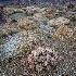 © Patricia A. Casey PhotoID # 12766910: Pink Cotton Head Barrel Cactus