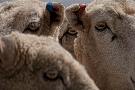 The Eyes Of Sheep