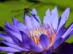 Water lily and gu...