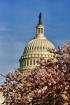 Capitol Blossoms