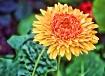 flower of sunshin...