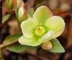 Lenten Rose 2012 ...