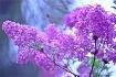 lilac dream