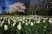 Yoshino and tulip...