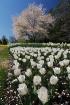 White rows