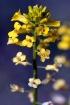 Tiny Yellow Buds