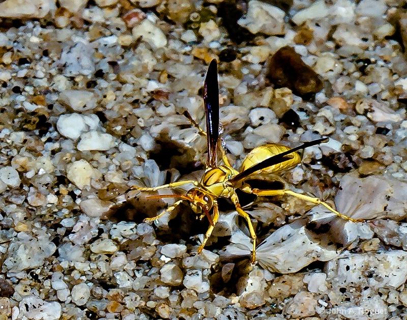 Desert Wasp Gathering Water - ID: 12927131 © John A. Roquet