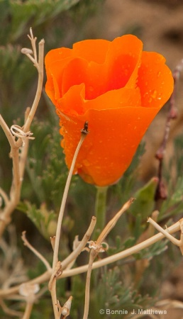Surrounded Poppy With Rain Drops