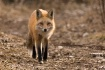 Fox approaching
