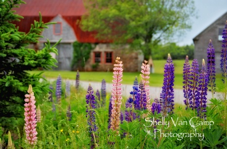 Colors of Lupines