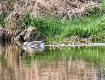 Spring  Goose Fam...
