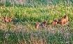 Fox Cubs At Play ...