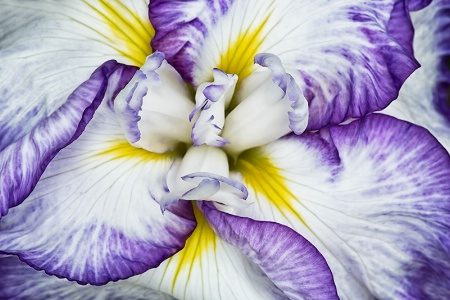 The Heart of the Iris